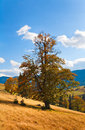 Bid autumn lonely tree  on mountainside Royalty Free Stock Photos
