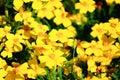 Bidens ferulifolia flowers