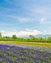 Biei And Furano Flower Fields,...