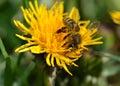 Biene auf löwenzahn bee on dandelion sedulous with pollen Stock Images