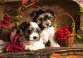 Biewer terrier puppies Stock Photos