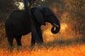 Big African Elephant, with evening sun, back light, animal in the nature habitat, Tanzania Royalty Free Stock Photo