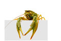 Big alive crayfish on white background with copyspace Royalty Free Stock Photography