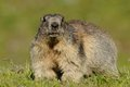 Big alpine marmot this large squirrel i can photograph in the grasslands of the european alps Stock Image
