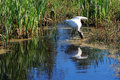 A big american forest stork with the food search in waters Stock Images