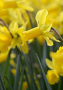 Big amount of yellow narcissus flowers growing under sunshine spring Stock Images