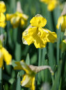 Big amount of yellow narcissus flowers growing under sunshine spring Stock Photography