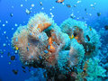 Big amphiprion with Anemone fish Stock Images