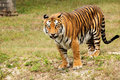 Big Asian Tiger Royalty Free Stock Photo