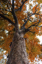 Big Autumn tree bugs eye view Royalty Free Stock Photo