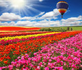 Big balloon over field of flowering Royalty Free Stock Photo