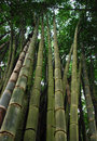Big bamboo tree in pang oung district mae hong son north of thailand Royalty Free Stock Photography