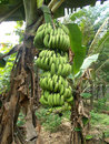Big bunches of green banana hanging on the tree Royalty Free Stock Photo