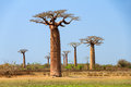 Big Baobab Royalty Free Stock Photo