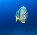 Big Bat Fish Royalty Free Stock Photo