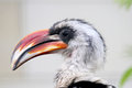 Big beak bird von der decken's hornbill profile Stock Photo