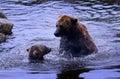 A big bear fighting small bear Royalty Free Stock Photo