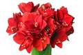 Big beautiful bouquet of red amaryllis on a white background Royalty Free Stock Image
