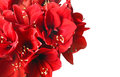 Big beautiful bouquet of red amaryllis on a white background Royalty Free Stock Images