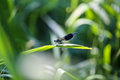 Big beautiful dragonfly on a green leaf closeup Royalty Free Stock Photo