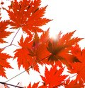 Brigbig beautiful maple leaves through which goes the sunlight. beautiful autumn paints. Royalty Free Stock Photo