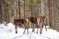 Big And Beautiful Red Deer Fem...
