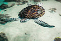 Big beautiful sea turtle in the clear water. Royalty Free Stock Photo