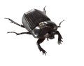 Big beetle black that has been isolated on a white background Stock Image