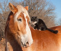Big belgian draft horse with a long haired black and white cat sitting on his back Royalty Free Stock Photography