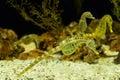 Big belly seahorse underwater swimming Stock Photos
