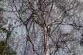Big birch tree Royalty Free Stock Photo
