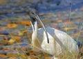 Big bird Stock Images