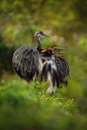 Big bird Greater Rhea, Rhea americana, with fluffy feathers, Pantanal, Brazil Royalty Free Stock Photo