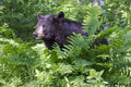 Big black bear huge in springtime sitting in green ferns Stock Images