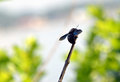 Big black bee color flying insects sitting on a twig photography Royalty Free Stock Photos
