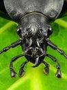 Black beetle macro - front view - big fangs, long antennas - black bug on a leaf macro - beetle head Royalty Free Stock Photo
