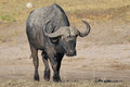 Big Black Cape Buffalo Stock Photography