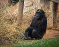 Big black chimpanzee sitting on a meadow Royalty Free Stock Photo