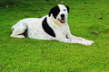 Big black dog with white spots sitting in park green grass Royalty Free Stock Image