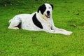 Big Black Dog With White Spots...