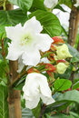 Big blooming of Easter Lily Vine flower Royalty Free Stock Photo