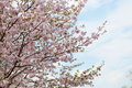 Big blossoming Oriental cherry Royalty Free Stock Photo