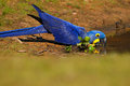 Big blue parrot Hyacinth Macaw, Anodorhynchus hyacinthinus, drinking water at the river Rio Negro, Pantanal, Brazil, South America