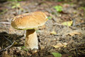Big boletus in forest Stock Image