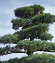Big bonsai detail outdoor of a conifer plant Royalty Free Stock Image