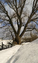 Big branchy willow in the winter on riverside snow sky and tree Royalty Free Stock Photos