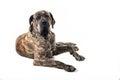 Big Brazilan Fila Dog Lying