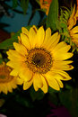 Big bright yellow sunflower Royalty Free Stock Photo