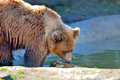 Big Brown Bear Royalty Free Stock Photography