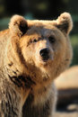 Big Brown Bear Stock Photo